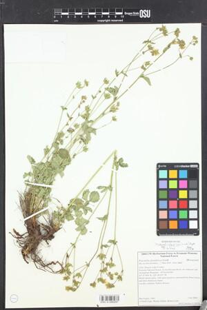 Image of Drymocallis glandulosa