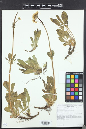 Valeriana pubicarpa image