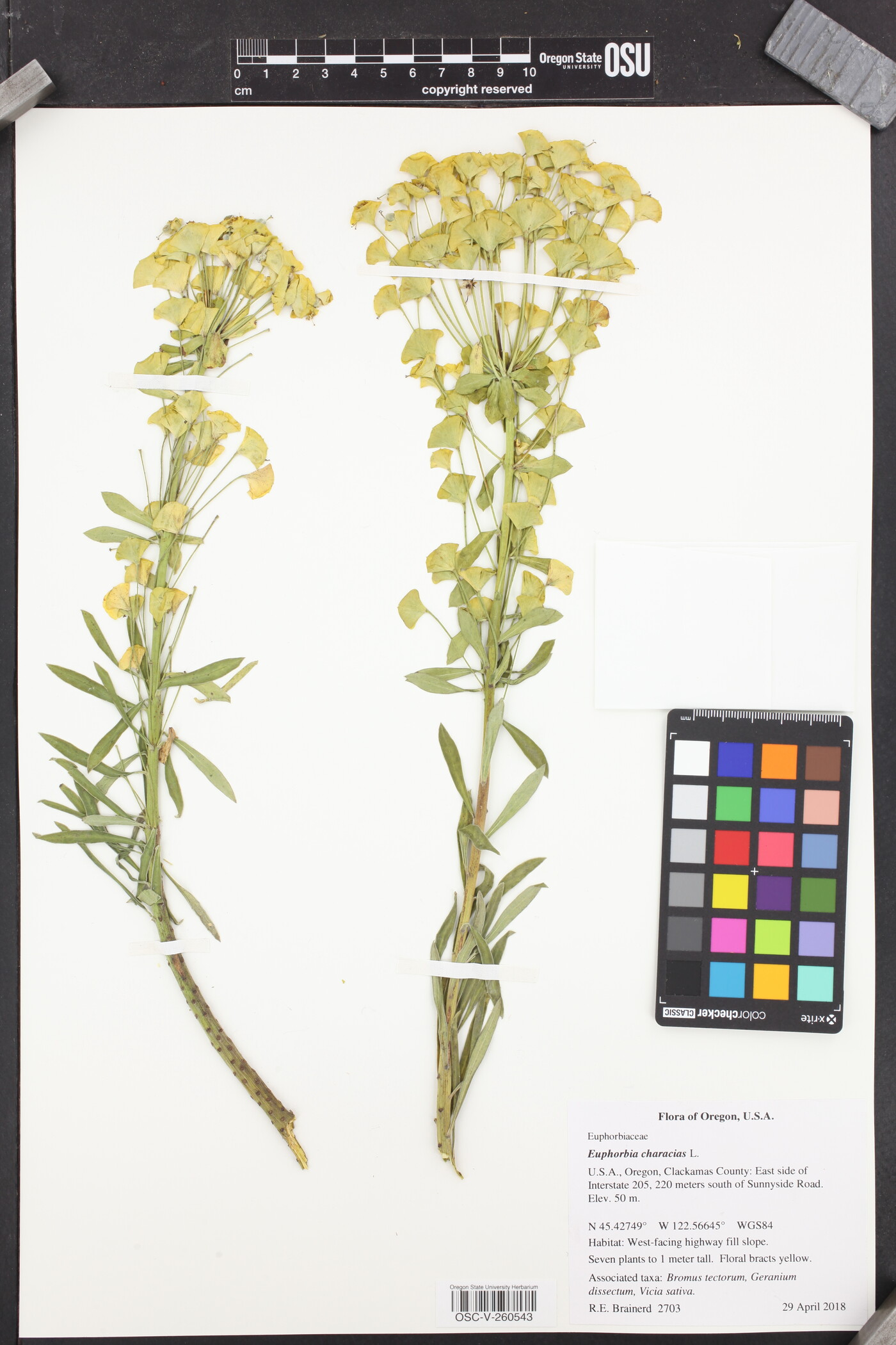 Euphorbia characias image