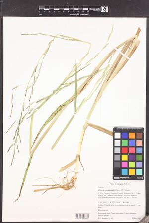 Image of Glyceria × occidentalis