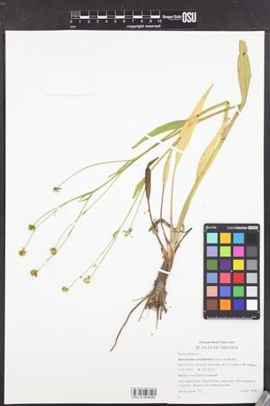 Image of Ranunculus alismifolius