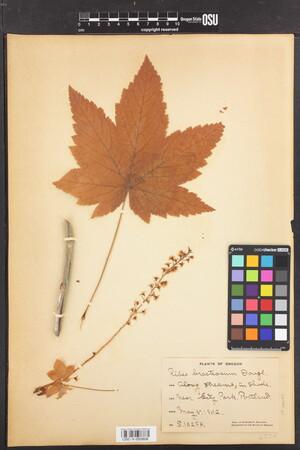 Image of Ribes bracteosum