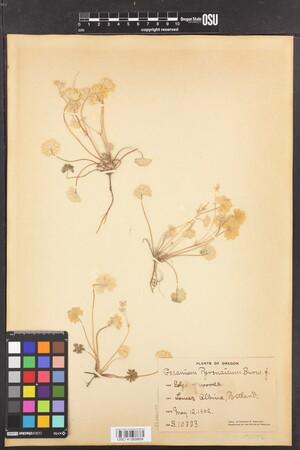 Image of Geranium molle