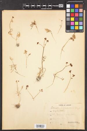 Lomatium piperi image