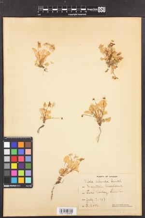 Image of Viola adunca