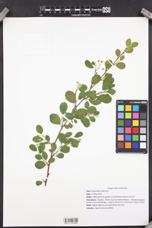 Image of Cotoneaster dammeri