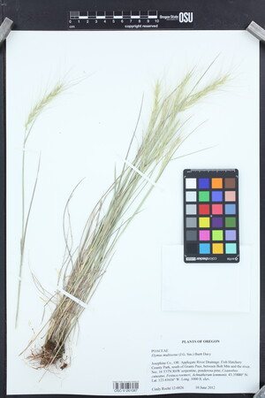 Image of Elymus multisetus