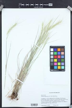 Image of Elymus multisetus