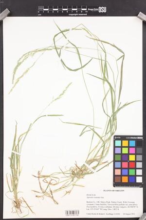 Image of Agrostis exarata