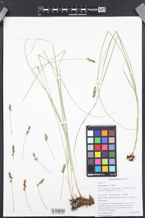 Carex pansa image