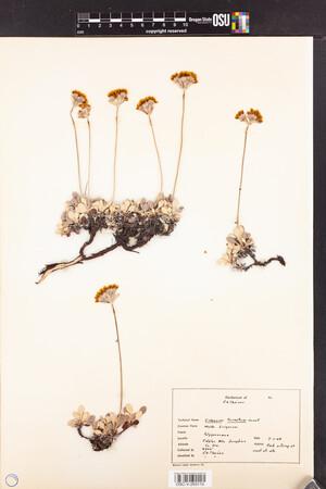 Eriogonum ternatum image
