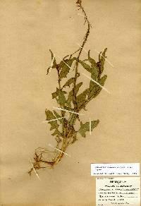Image of Caulanthus lasiophyllus