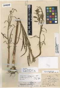 Image of Fritillaria atropurpurea