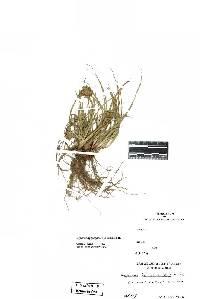 Image of Cyperus aggregatus