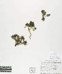 Image of Askellia pygmaea