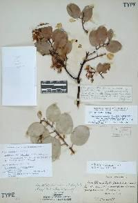 Image of Arctostaphylos viscida
