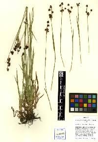 Image of Luzula cascadensis