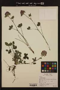 Image of Trifolium pratense