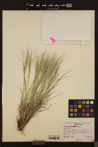 Image of Elymus elymoides