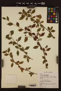 Image of Cotoneaster franchetii