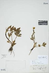Image of Ranunculus occidentalis