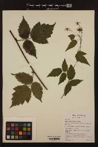 Image of Rubus ursinus