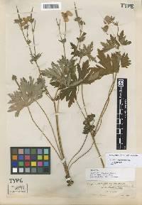 Image of Geranium oreganum
