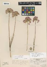 Image of Allium acuminatum