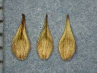 Image of Carex illota
