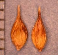 Image of Carex douglasii