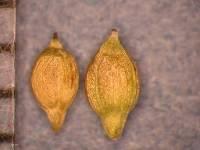 Image of Carex disperma