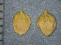 Image of Carex barbarae